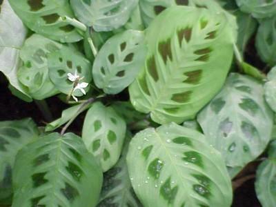 Plantas-de-interior-la-Maranta2-400x300