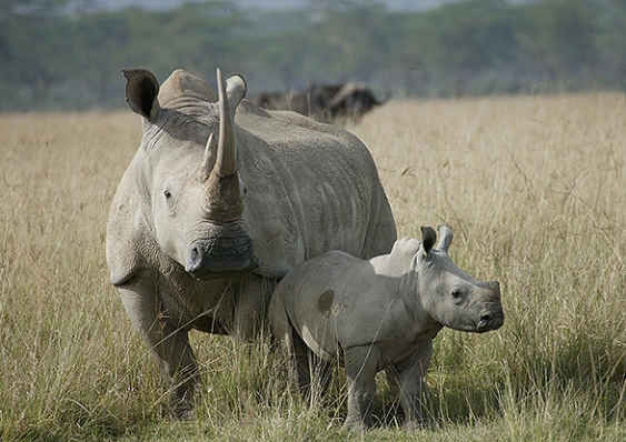 animales.rinoceronte