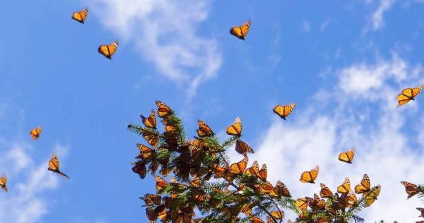 Mariposas-Monarca