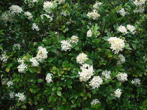 Limonaria_Murraya_paniculata
