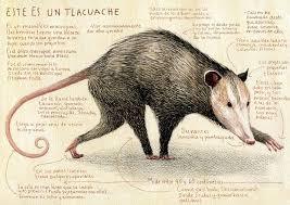 tlacuache