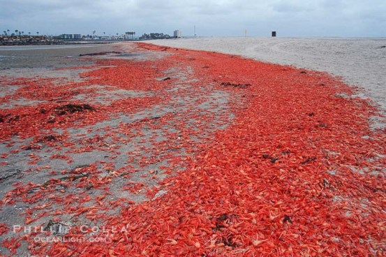 Pelagic red tuna crabs, washed ashore to form dense piles on the beach.
