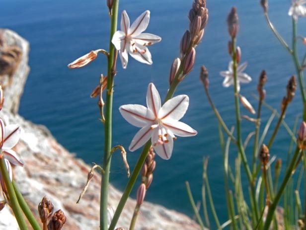 flor de acantilado