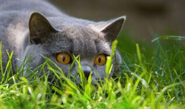 gato-acechando