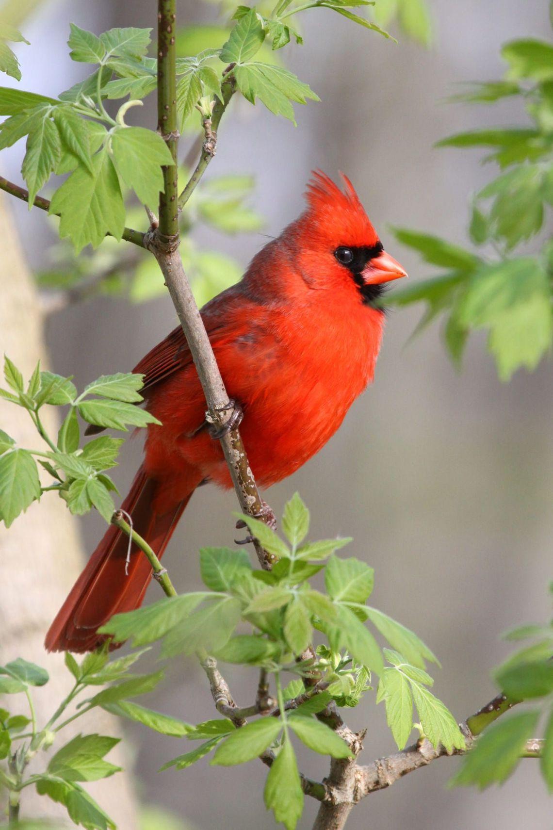 cardenal.