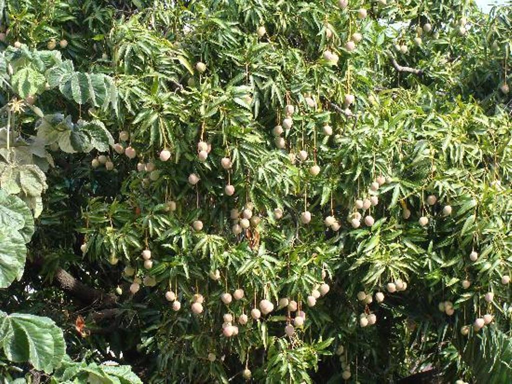 arbol mango