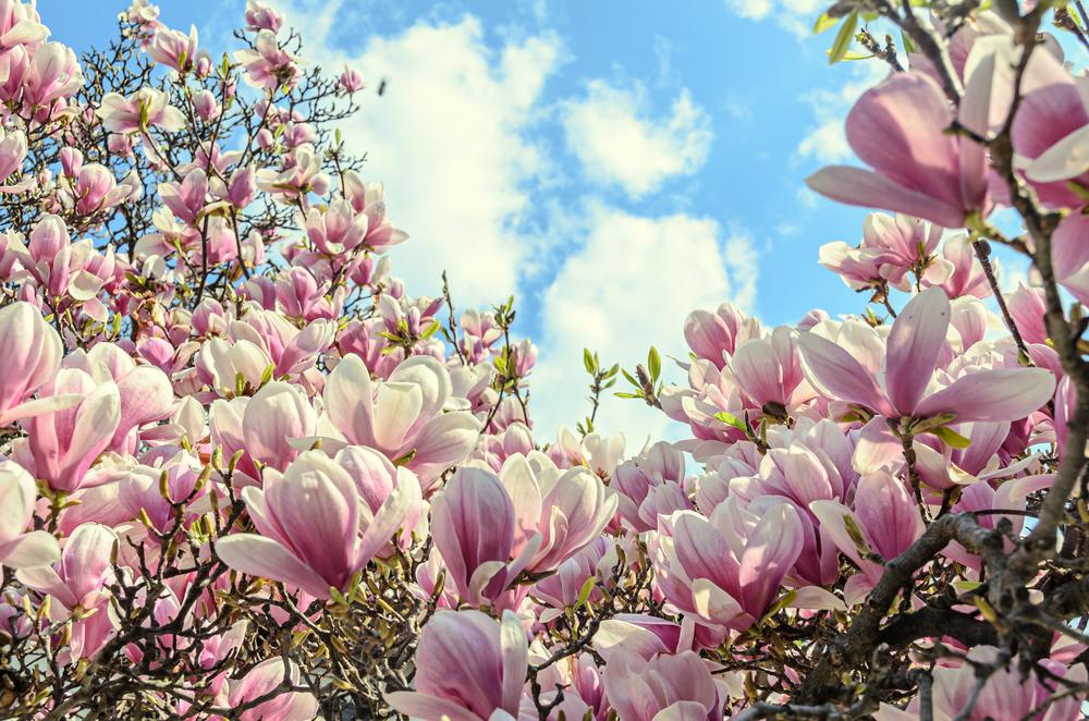magnolia-flowers-june152018