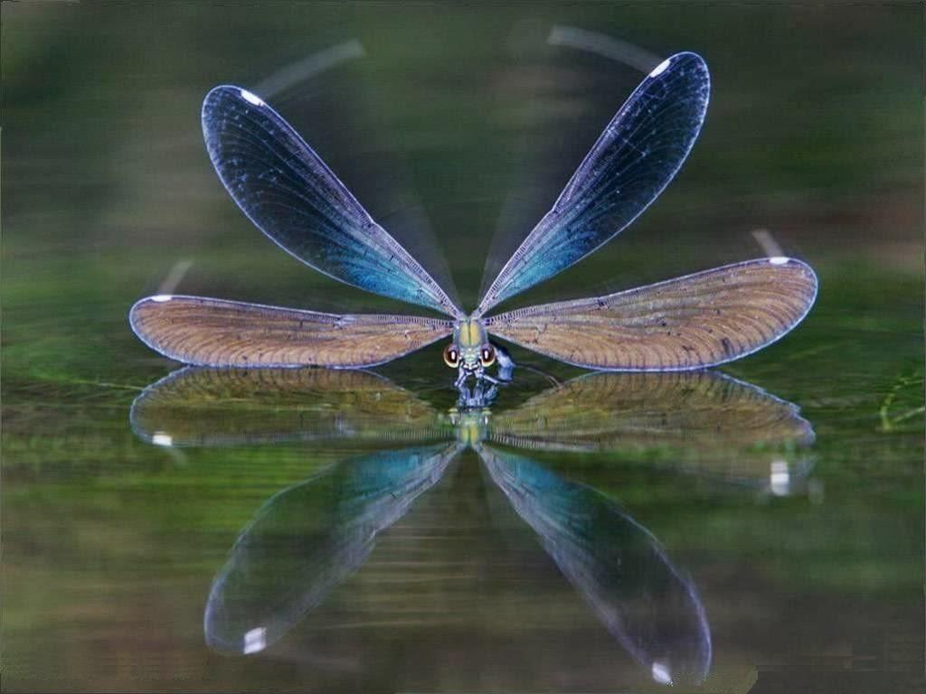 Resultado de imagen de libelulas en el agua
